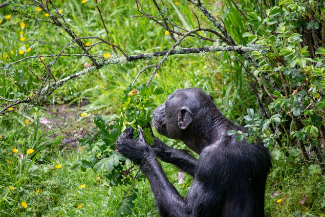 A chimpanzee eating.
