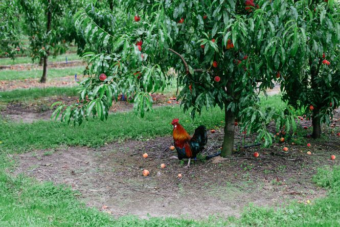 A rooster under peach trees.
